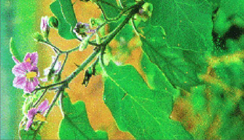 cà dại hoa tím chữa đau dạ dày!
